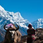 yak et porteur devant lhimalaya népal