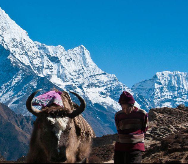 yaks et porteur sherpa au Népal avec l'Himalaya en arrière plan